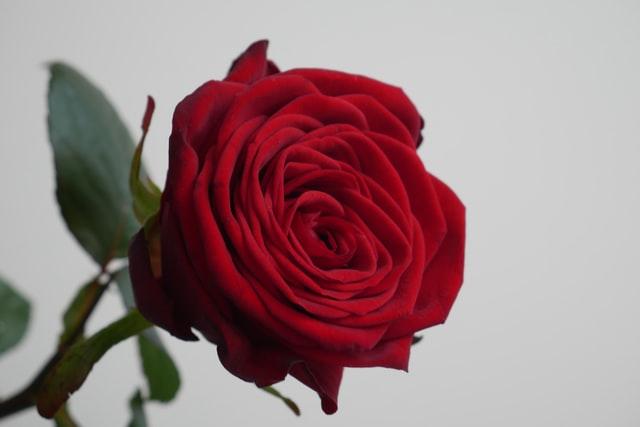 小人を撃退する赤い薔薇