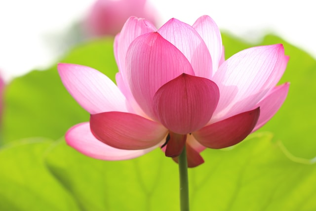 美しく咲く蓮の花