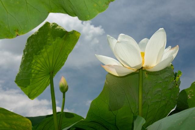 陽の光を浴びる蓮の花