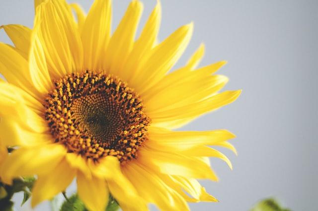 向日葵は花の主役です