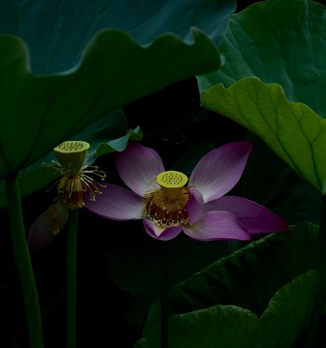 花果同時の蓮の花