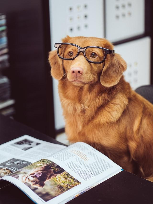 知性的な眼鏡をかけた犬
